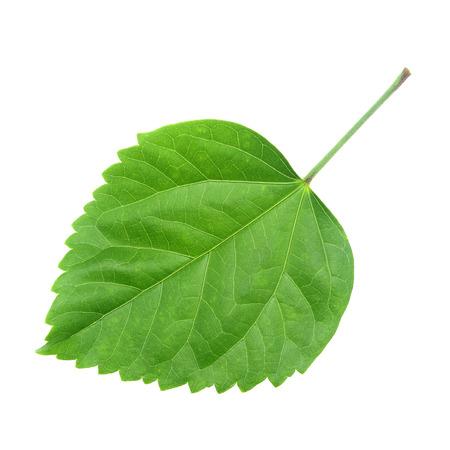hibiscus: Hoja verde del hibisco; primer plano sobre fondo blanco