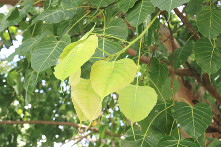 pipal: Green Bodhi leaves background (also known as Pipal leaves and Bo leaves)
