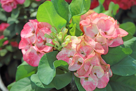 Crown of thorns flowers : Euphorbia milli Desmoul Stock Photo