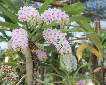 gigantea: Rhynchostylis gigantea orchids flowers bloom in spring adorn the beauty of nature