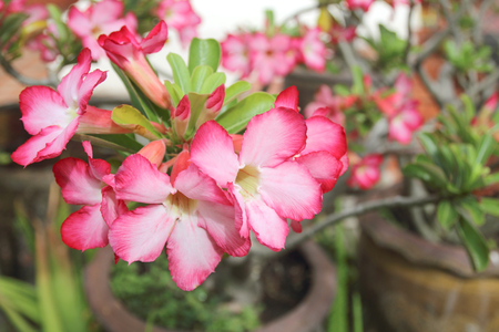 Beautiful Pink of Adenium flower with blur background.