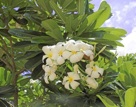 Plumeria on the plumeria tree, Frangipani tropical flowers.