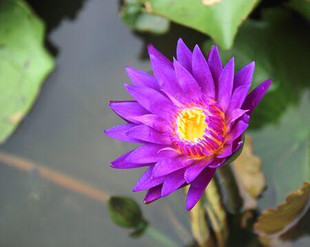 Beautiful waterlily or lotus flower in pond Stok Fotoğraf