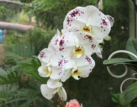 Beautiful White Phalaenopsis or Doritaenopsis Orchid Flower