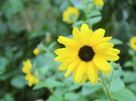Sunflower beautiful in field