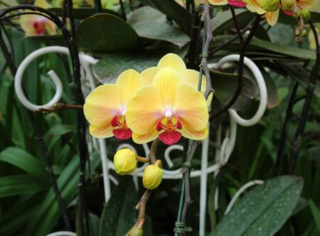 The Phalaenopsis Orchids in the garden. Stok Fotoğraf