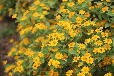 Yellow aspilia with flower in the garden Stok Fotoğraf