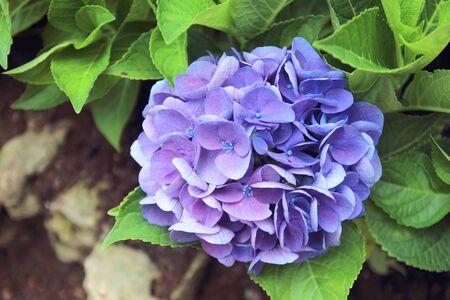 Purple Hydrangea flower (Hydrangea macrophylla) in a garden. Stock fotó