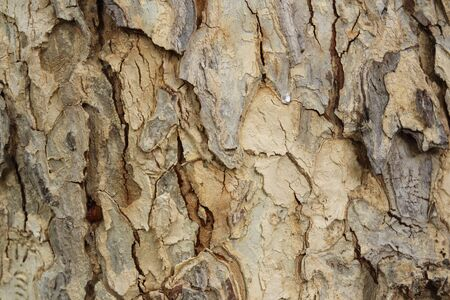Dry tree bark texture background, Wood background