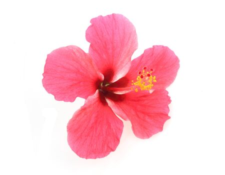 Beautiful hibiscus flowers isolated on white Banque d'images