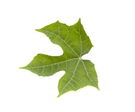 green leaf on a white background Reklamní fotografie