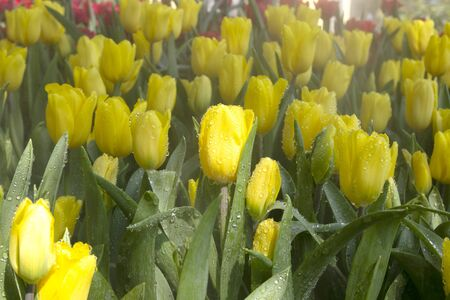 Beautiful yellow tulips with water droplets for background