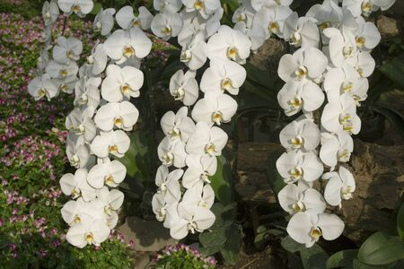Beautiful white orchid flowers in garden