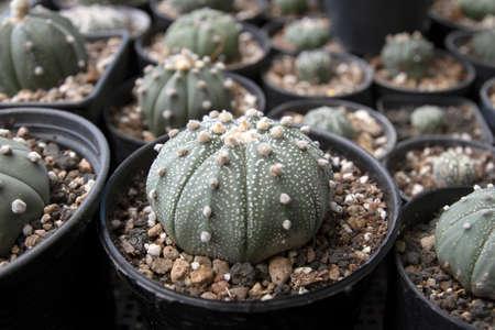 Dwarf cactus in a small pot