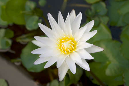 Beautiful white lotus flower is blooming with green leaf in the pond