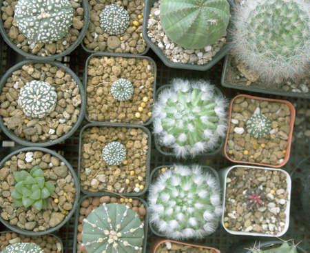 Dwarf Cactus Collection.Dwarf Cactus Shop.
