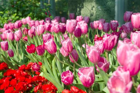Pink Tulips blooming in the garden