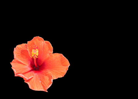 candid: hibiscus flower