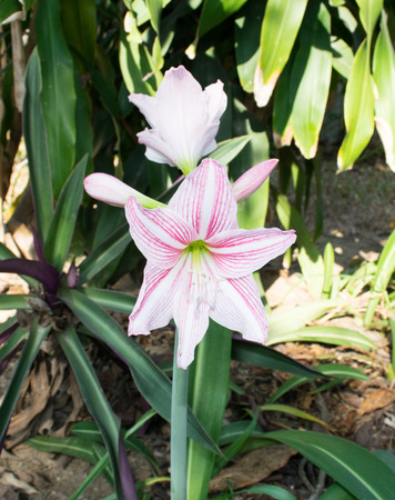 hippeastrum flower: white hippeastrum flower