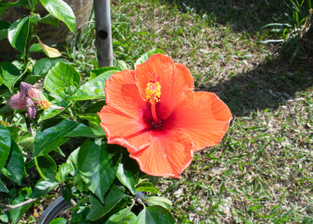 candid: red hibiscus flower