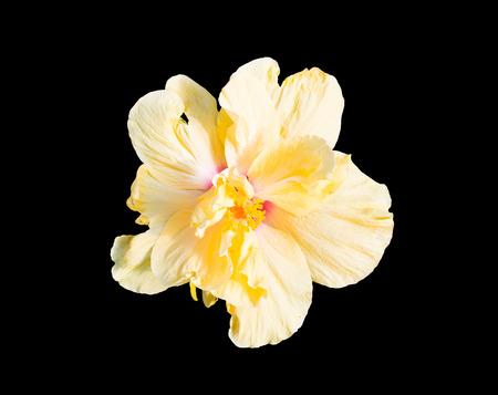 malvales: yellow hibiscus flower