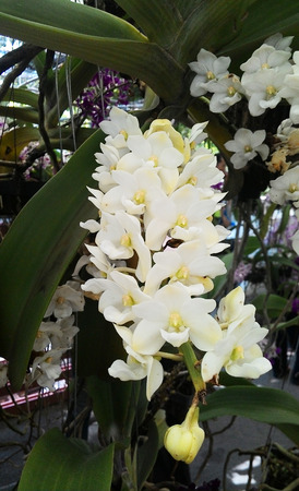 white tail: white tail orchid Stock Photo