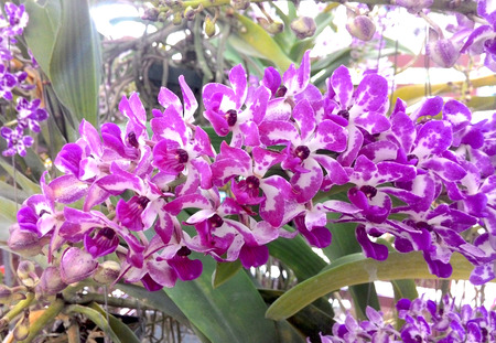 white tail: violet white tail orchid Stock Photo