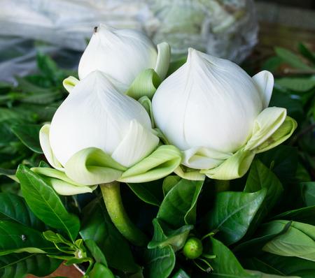 triple: triple white lotus