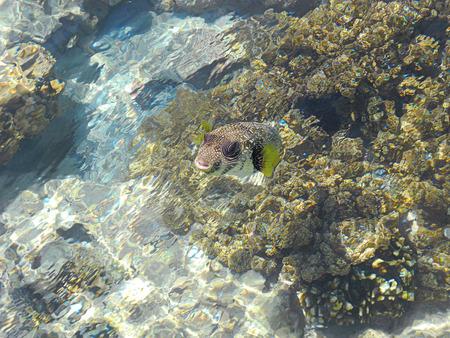 Friendly Arothron hispida fish in the Red Sea. Stock Photo