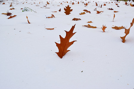 fagaceae: Brown fallen oak leaf on the first snow. Stock Photo