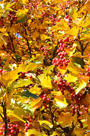 sorb: Beautiful leaves and fruits of autumn rowan.
