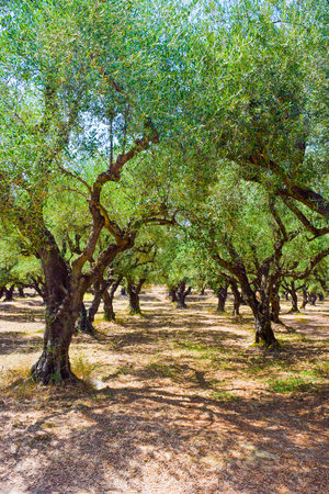 Olive groves of the island of Zakynthos, Greece. Stock Photo