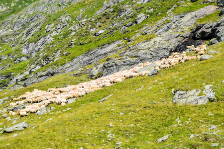 Transfagarasan road, Romania, - August 3, 2017: Shepherd with flock of sheep near the Transfagarasan mountain road, Romania. Editorial