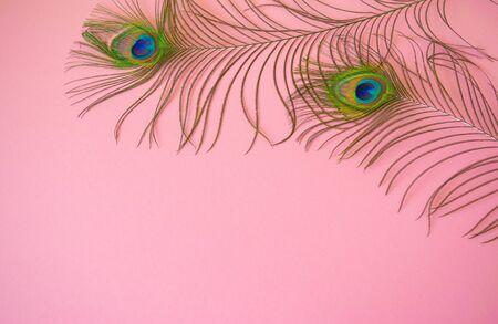 Schöne Federn aus dem Schwanz eines Pfaus auf einem isolierten hellrosa Pastellhintergrund. Motivfoto für Design mit Kopienraum im minimalistischen Stil, Vorlage für Schrift oder Text. Standard-Bild