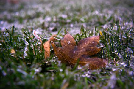 Brown maple leaf covered with transparent ice on green frozen grass. Winter weather surprises. Unexpected ice. The sharp drop in temperature froze the raindrops, covering everything with slippery ice.