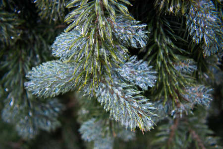 Twigs of blue spruce covered with ice close-up. Winter weather surprises. Unexpected ice. The sharp drop in temperature froze the raindrops. Macro.