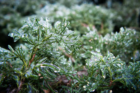 Thuja twigs covered with ice close-up. Winter weather surprises. Unexpected ice. The sharp drop in temperature froze the raindrops, covering everything with slippery ice. Macro. 免版税图像