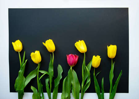 Be different from others. The one and only red tulip flower among all the yellow ones. Row of lovely fresh blooming spring flowers on black paper background. Greeting card. Flat lay. Copy space.