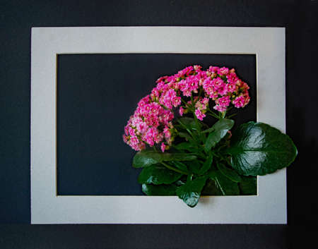 Beautiful fresh lush blooming pink buds of potted decorative succulent Kalanchoe blossfeldianain a frame on black background. Greeting card with copy space. Flat lay.