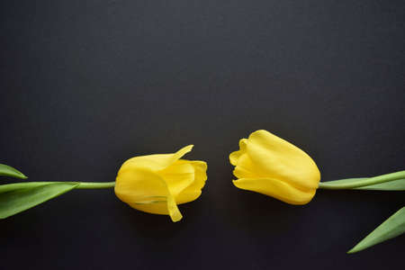 Flower to flower. Two Lovely fresh yellow tulip flower buds stretch towards each other on a black paper background. A symbol of love and attraction to each other. Selective focus. Flat lay. Copy space