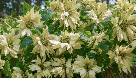 White poinsettia (Euphorbia pulcherrima) plant Stock Photo