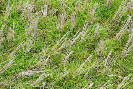 The dry paddy stubble left after harvesting as field residues.
