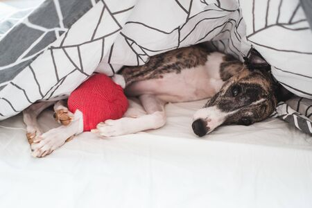 Injured whippet dog resting on treatment