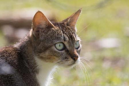 feral: Feral cat with suspicious stare Stock Photo