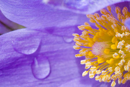 Close-up of a prairie crocus (Anemone patens), also known as pasqueflower, with rain drops on the petals Reklamní fotografie