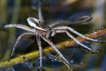 Six-spotted fishing spider (Dolomedes triton) on water surface