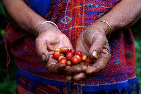 Coffee Farmer Showing Beans While Harvesting