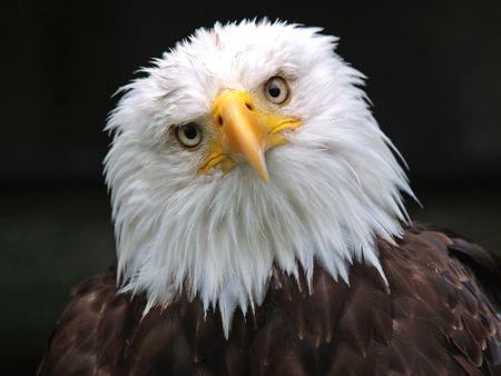 hawks: Bald Eagle