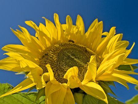sun flower Stock Photo - 4902178