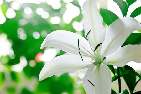 Lily Closeup